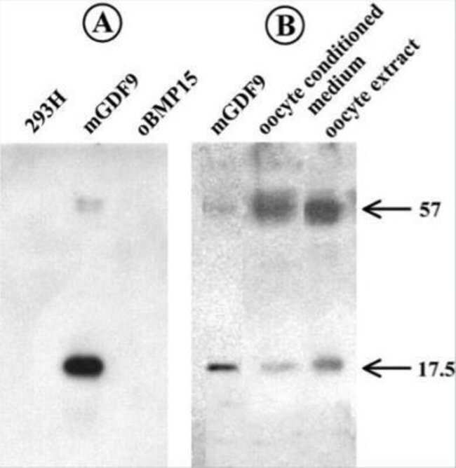GDF-9 Mouse anti-Human, Clone: 53/1, Novus Biologicals 0.1mg